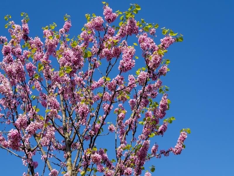 Ρόδινο λουλούδι σε ένα δέντρο στοκ φωτογραφίες