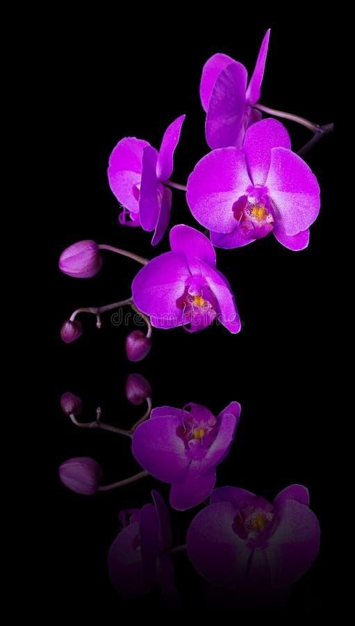 Ρόδινο λουλούδι σε ένα μαύρο υπόβαθρο στοκ φωτογραφίες