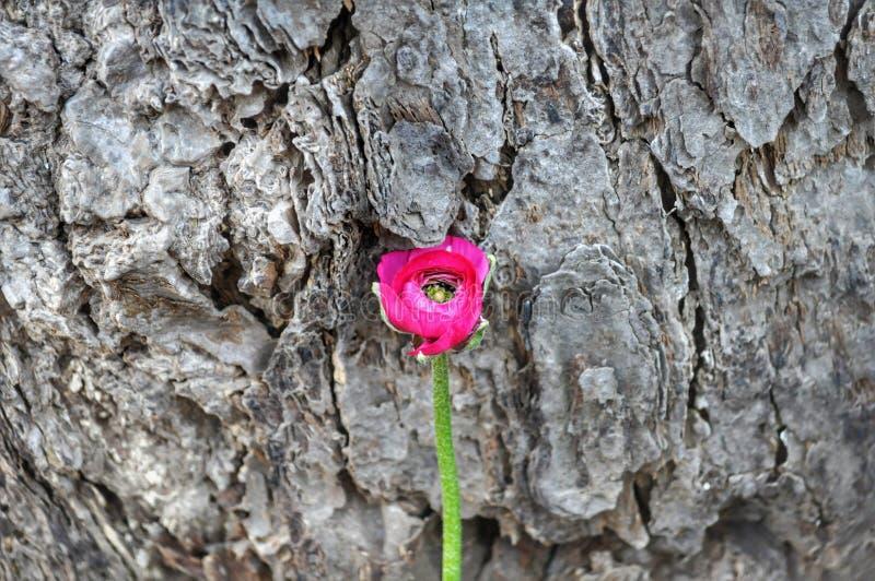 Ρόδινο λουλούδι στο ξύλινο υπόβαθρο στοκ εικόνες