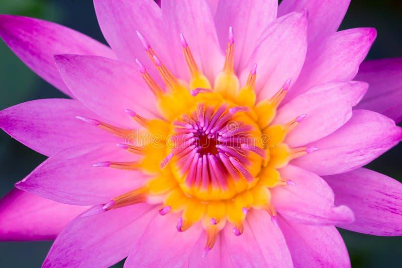 Ρόδινο λουλούδι της Lilly νερού Lotus της ειρήνης στοκ φωτογραφία με δικαίωμα ελεύθερης χρήσης
