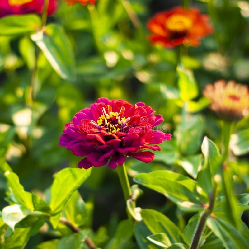 Ρόδινο λουλούδι της Zinnia στο πράσινο υπόβαθρο χλόης στοκ εικόνα