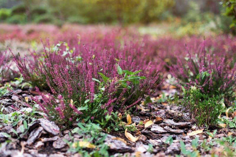 Ρόδινο λουλούδι των εγκαταστάσεων ερείκης στον κήπο Vulgaris λουλούδια Calluna στοκ εικόνες