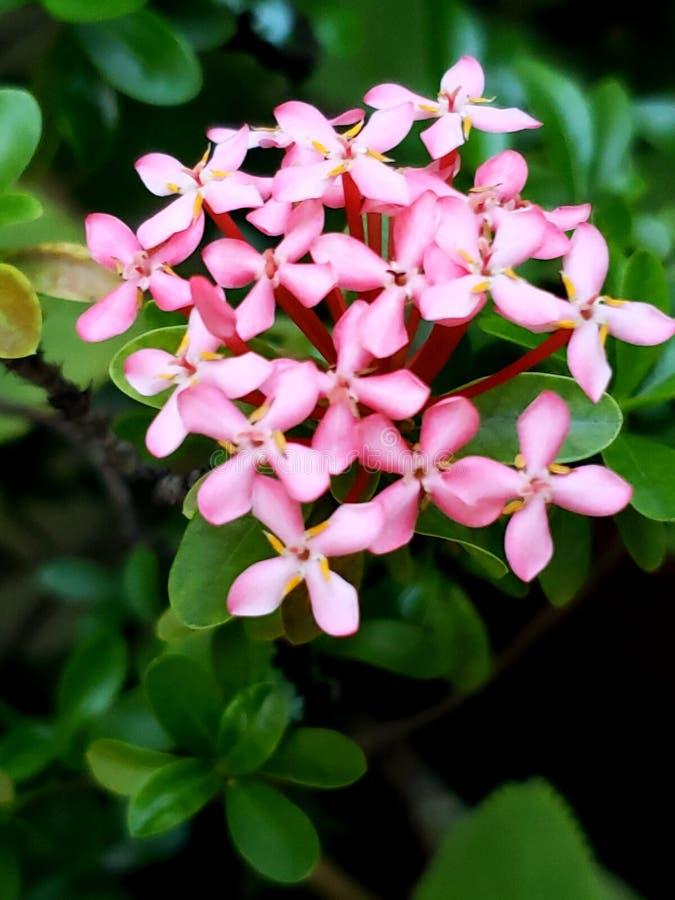 Ρόδινο λουλούδι colarillo στοκ εικόνες