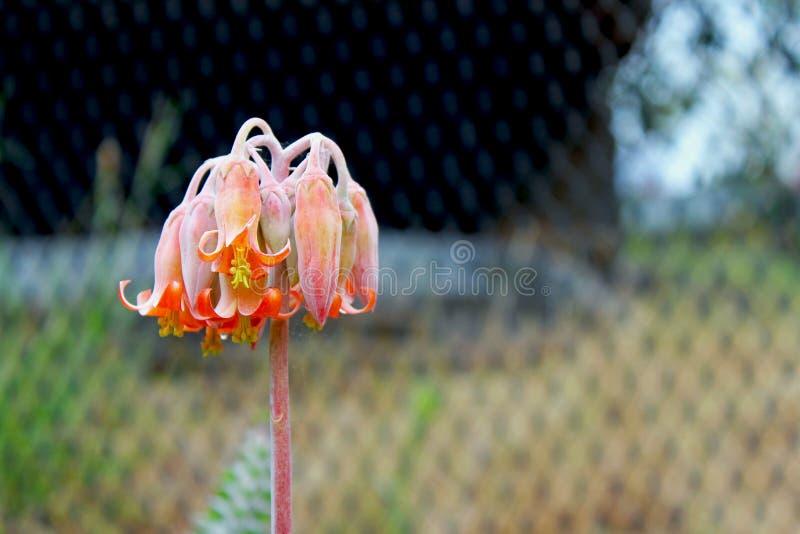 Ρόδινο λουλούδι Cotyledon του orbiculata ή του αυτιού χοίρων ` s στοκ φωτογραφία με δικαίωμα ελεύθερης χρήσης