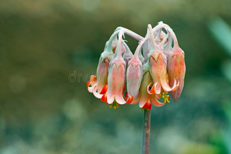 Ρόδινο λουλούδι Cotyledon του orbiculata ή του αυτιού χοίρων ` s στοκ φωτογραφία