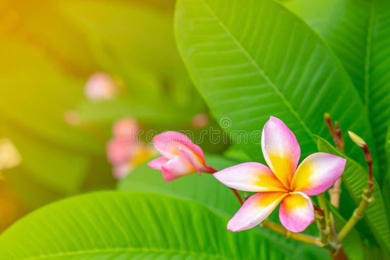 Ρόδινο λουλούδι plumeria ή frangipani στοκ εικόνες
