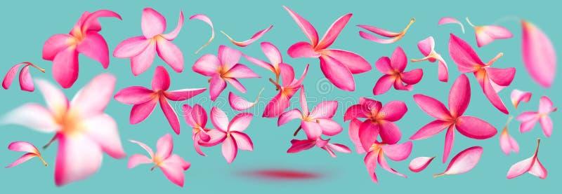 Ρόδινο πέταγμα πετάλων λουλουδιών frangipani ή plumeria στοκ εικόνες