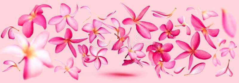 Ρόδινο πέταγμα πετάλων λουλουδιών frangipani ή plumeria στοκ φωτογραφία με δικαίωμα ελεύθερης χρήσης