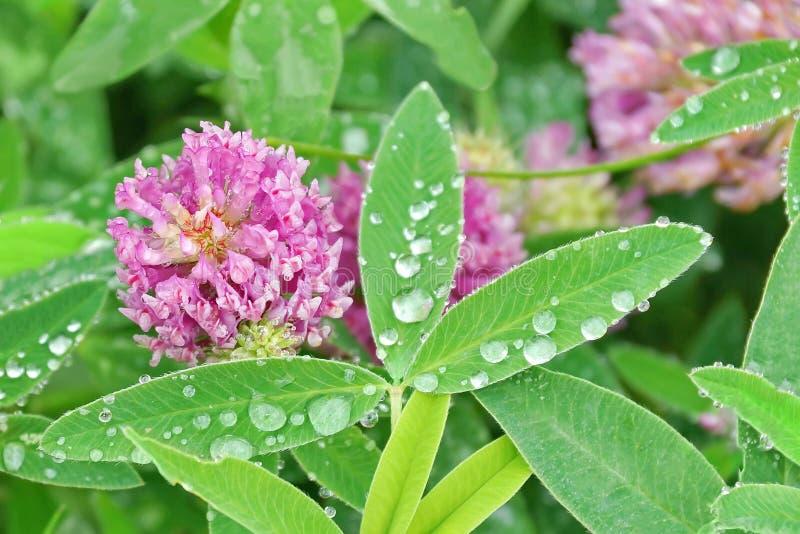 Ρόδινο τριφύλλι στις σταγόνες βροχής κινηματογραφήσεων σε πρώτο πλάνο τομέων στα φύλλα στοκ φωτογραφία με δικαίωμα ελεύθερης χρήσης