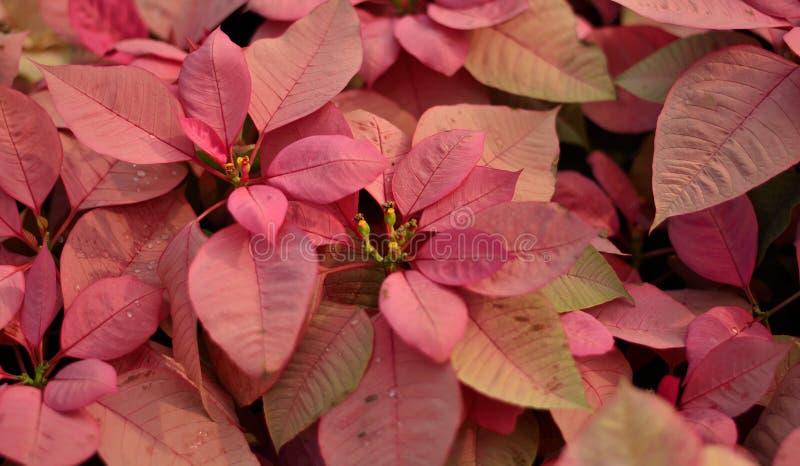 Ρόδινο φύλλωμα - υπόβαθρο φύλλων Poinsettia στοκ εικόνες με δικαίωμα ελεύθερης χρήσης