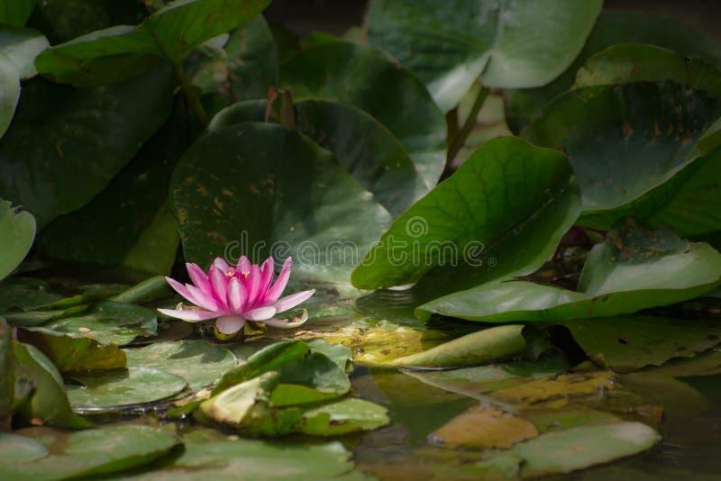 ρόδινο ύδωρ κρίνων λουλο&ups στοκ εικόνες