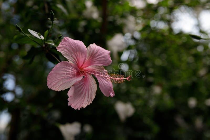 Ρόδινο hibiscus λουλούδι σε ένα πράσινο υπόβαθρο Σε έναν τροπικό κήπο στοκ φωτογραφίες