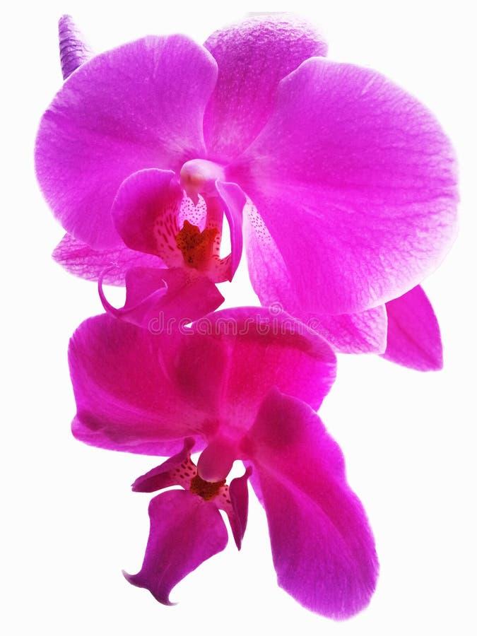 Ρόδινο Orchid λουλούδι Απομονωμένο ρόδινο λουλούδι ορχιδεών στο άσπρο backgro στοκ φωτογραφία