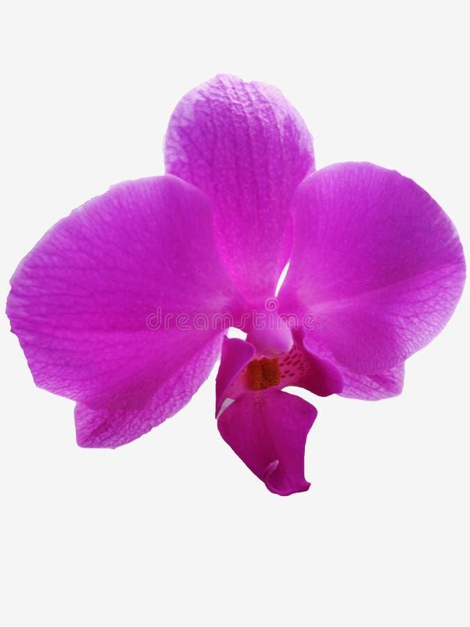 Ρόδινο Orchid λουλούδι Απομονωμένο ρόδινο λουλούδι ορχιδεών στο άσπρο backgro στοκ φωτογραφίες με δικαίωμα ελεύθερης χρήσης