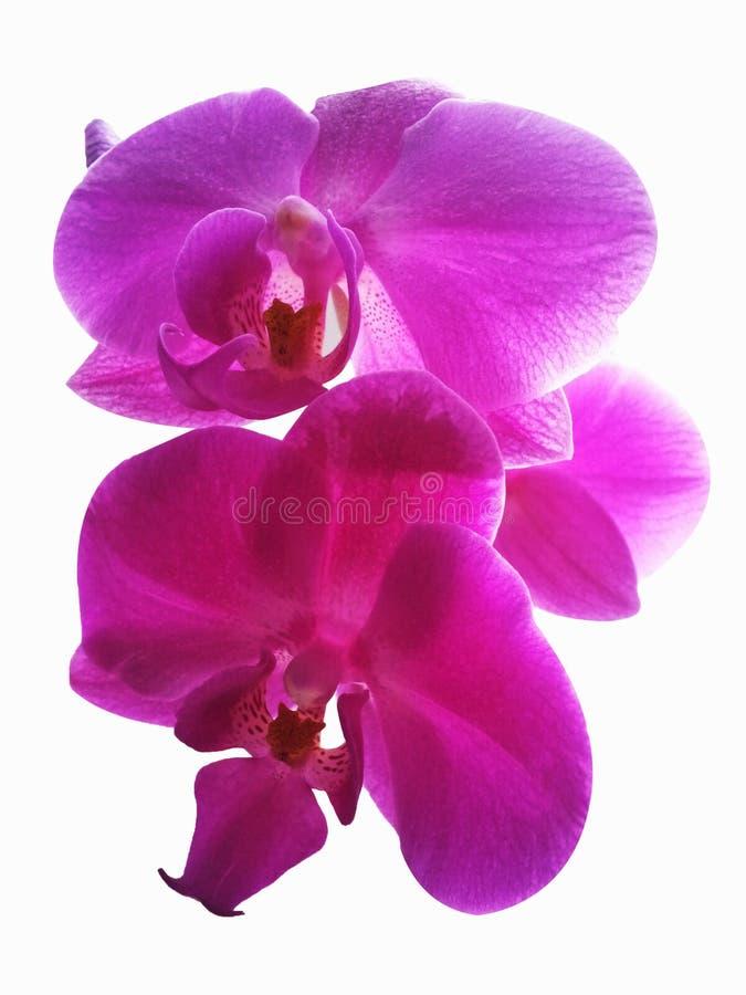 Ρόδινο Orchid λουλούδι Απομονωμένο ρόδινο λουλούδι ορχιδεών στο άσπρο backgro στοκ εικόνα