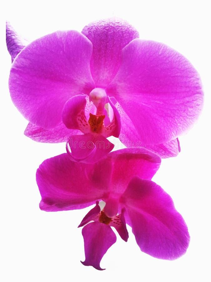 Ρόδινο Orchid λουλούδι Απομονωμένο ρόδινο λουλούδι ορχιδεών στο άσπρο backgro στοκ εικόνες