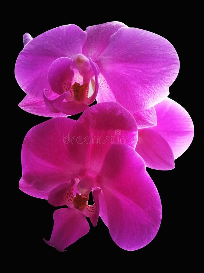 Ρόδινο Orchid λουλούδι Απομονωμένο ρόδινο λουλούδι ορχιδεών στο μαύρο backgro στοκ φωτογραφία