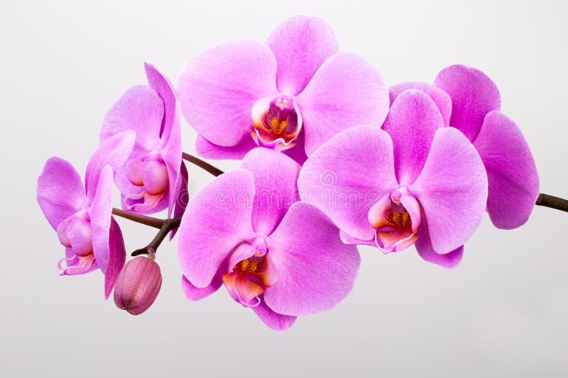 Ρόδινο orchid που απομονώνεται στην άσπρη ανασκόπηση closeup στοκ εικόνα με δικαίωμα ελεύθερης χρήσης
