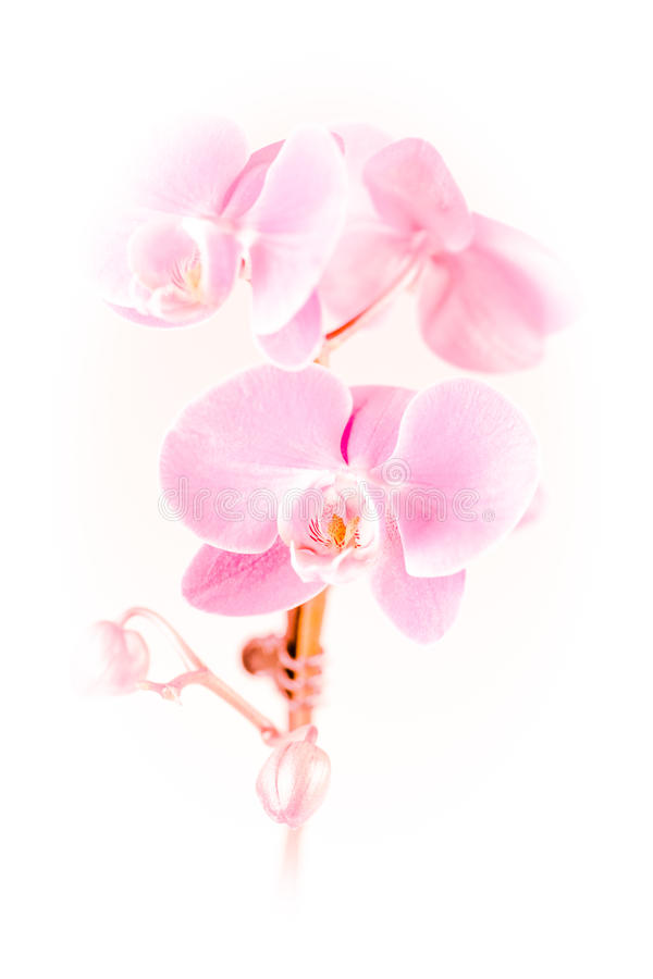 Ρόδινο orchid στοκ φωτογραφία