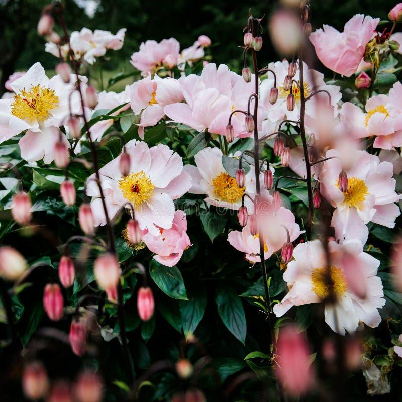 Ρόδινο peony άνθος λουλουδιών, λεπτομέρεια κήπων στοκ εικόνα με δικαίωμα ελεύθερης χρήσης