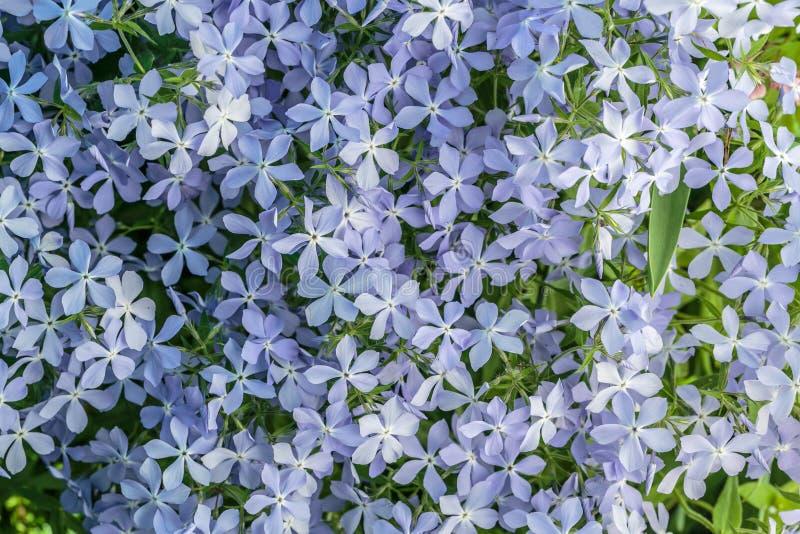 Ρόδινο Phlox, ανθίζοντας λουλούδια άνοιξη Να συρθεί Phlox, βρύο Phlox στοκ εικόνα