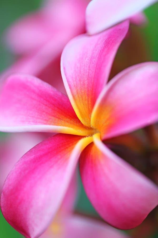 Ρόδινο Plumeria λουλούδι Χαβάη στοκ φωτογραφία με δικαίωμα ελεύθερης χρήσης