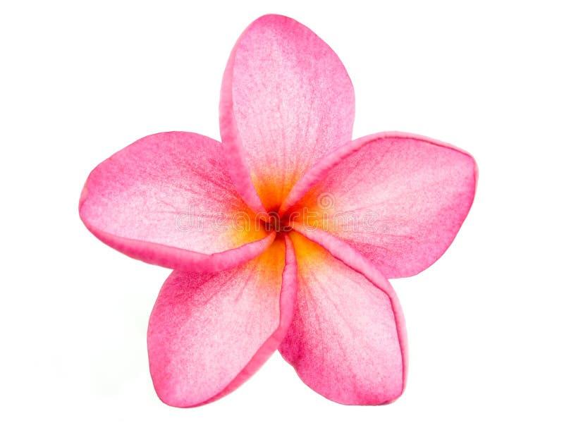 ρόδινο plumeria frangipani στοκ εικόνες με δικαίωμα ελεύθερης χρήσης