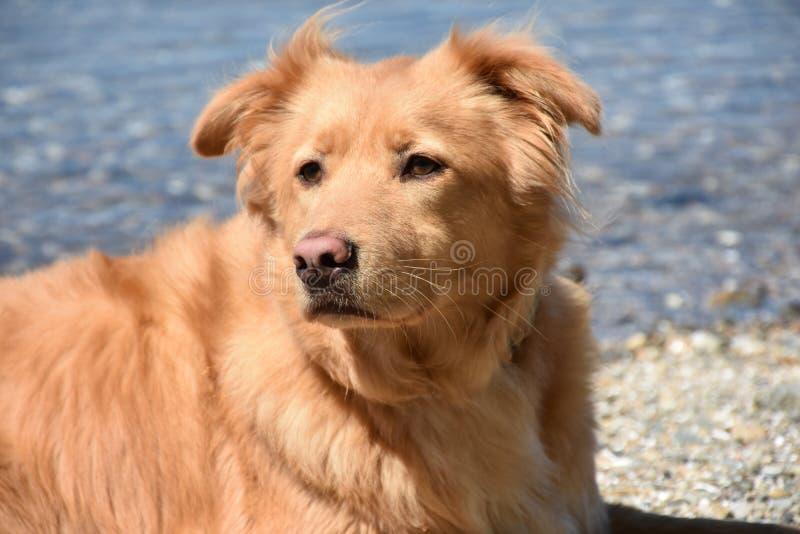Ρόδινο Retriever της Νέας Σκοτίας μύτης σκυλί στην παραλία στοκ εικόνες με δικαίωμα ελεύθερης χρήσης