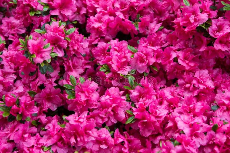 Ρόδινο rhododendron λουλούδι Rhododendron σχέδιο r Όμορφο ανθίζοντας υπόβαθρο σύστασης Σκηνικό λουλουδιών στοκ φωτογραφία