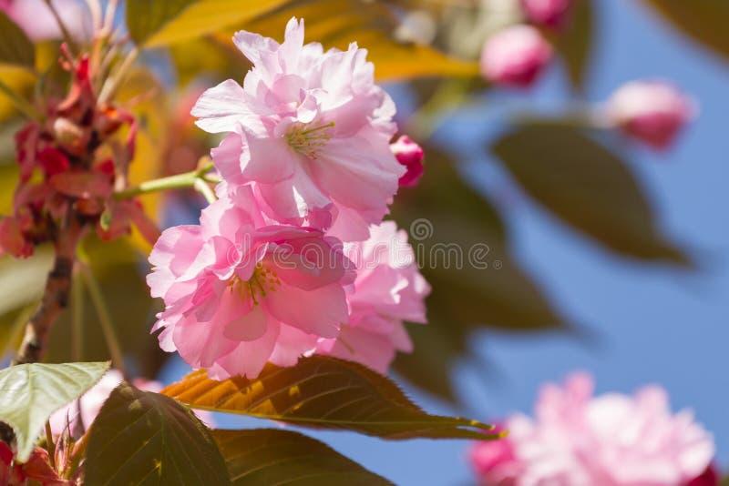 Ρόδινο Sakura άνθισε στοκ εικόνες