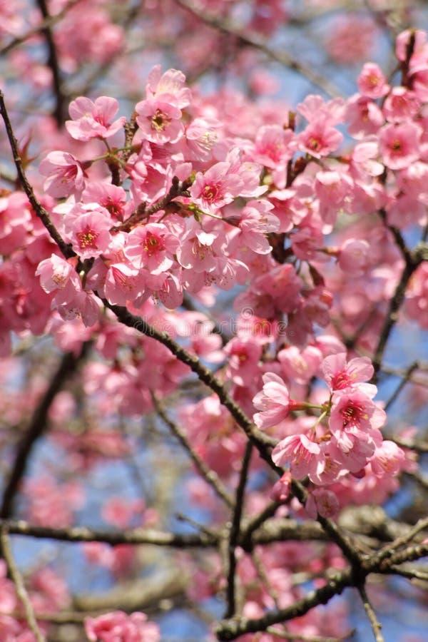 ρόδινο sakura λουλουδιών στοκ φωτογραφίες με δικαίωμα ελεύθερης χρήσης