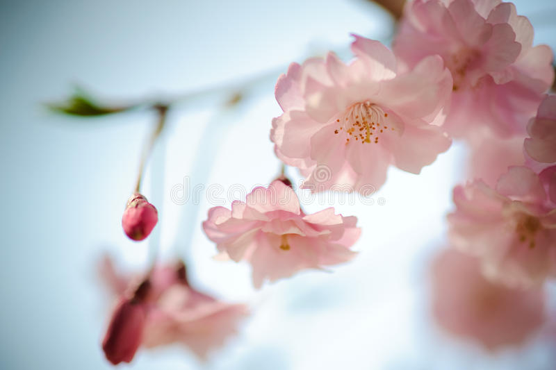 ρόδινο sakura 04 Ιαπωνία στοκ εικόνα με δικαίωμα ελεύθερης χρήσης