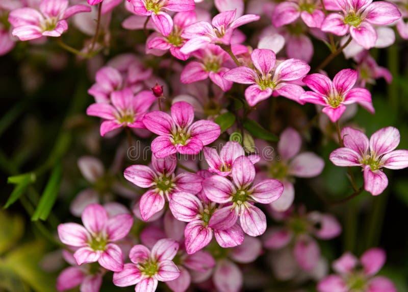 Ρόδινο Saxifraga ουαλλέζικα αυξήθηκε λουλούδια αυξανόμενος σε ένα rockery, αλπικός κήπος στοκ φωτογραφίες
