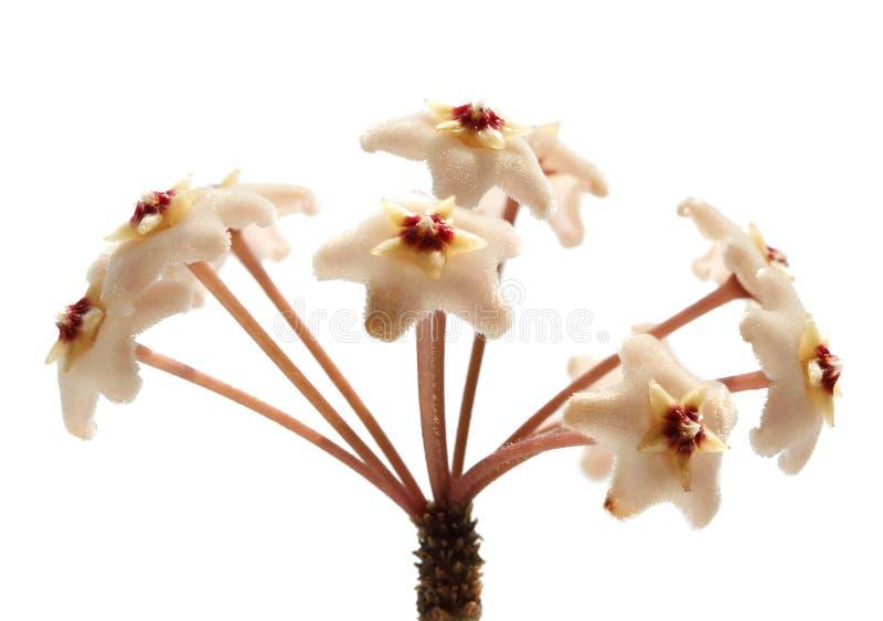ρόδινο umbel λουλουδιών στοκ φωτογραφίες