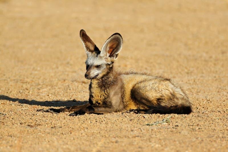 Ρόπαλο-έχουσα νώτα αλεπού στο φυσικό βιότοπο στοκ εικόνα