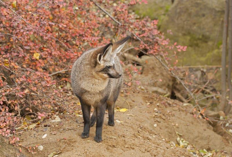 Ρόπαλο-έχουσα νώτα αλεπού στοκ εικόνες