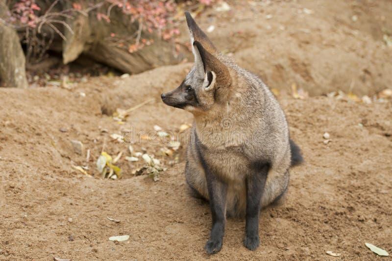 Ρόπαλο-έχουσα νώτα αλεπού στοκ εικόνα