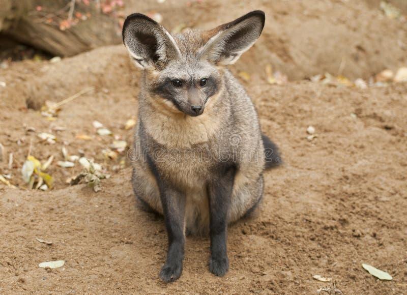 Ρόπαλο-έχουσα νώτα αλεπού στοκ φωτογραφία