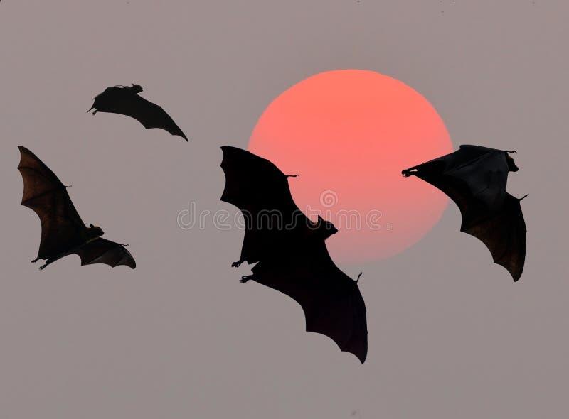 Ρόπαλα που πετούν στο ηλιοβασίλεμα στοκ φωτογραφία με δικαίωμα ελεύθερης χρήσης