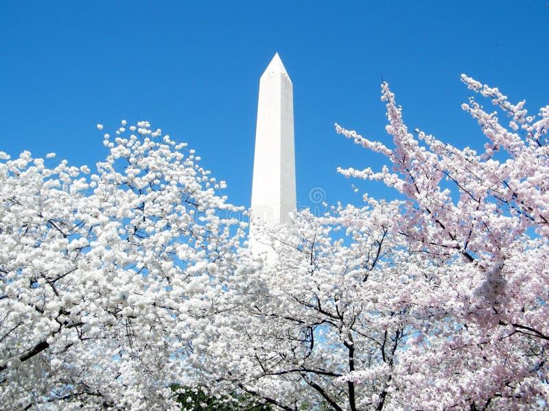 Ρόδινα άνθη κερασιών της Ουάσιγκτον γύρω από το μνημείο 2 της Ουάσιγκτον στοκ εικόνα