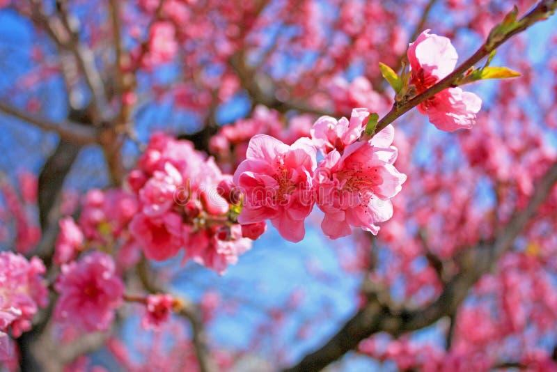 Ρόδινα άνθη κερασιών στοκ εικόνα με δικαίωμα ελεύθερης χρήσης