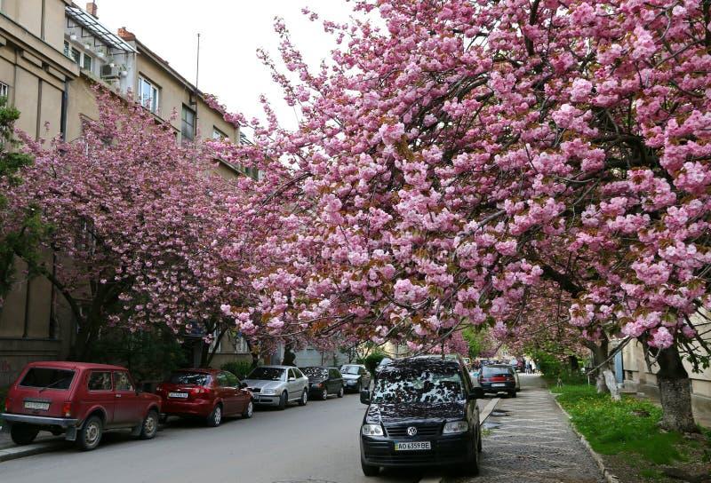 Ρόδινα δέντρα sakura στην οδό Uzhgorod, Ουκρανία στοκ εικόνα με δικαίωμα ελεύθερης χρήσης