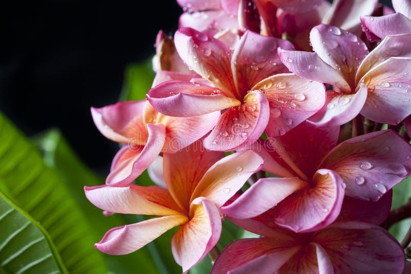 Ρόδινα κίτρινα λουλούδια Plumeria στοκ εικόνα