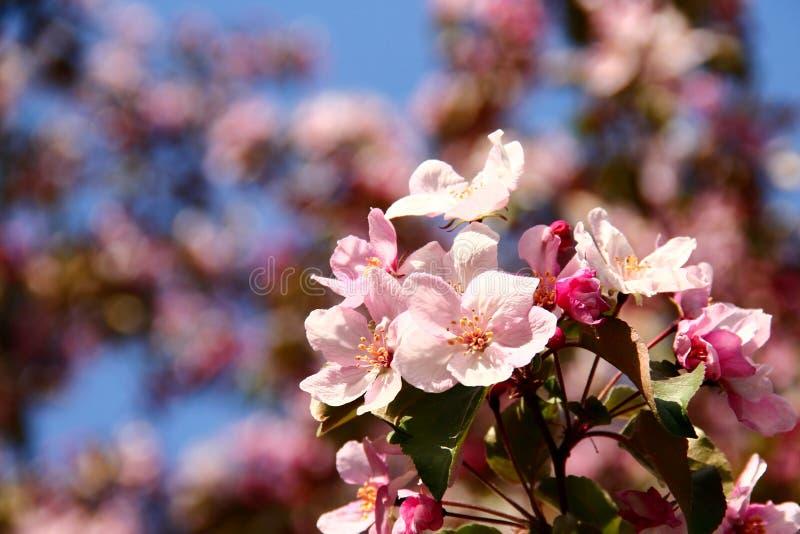 Ρόδινα λουλούδια δέντρων της Apple στοκ φωτογραφίες