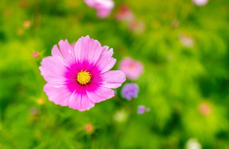 Ρόδινα λουλούδια μαργαριτών στο πράσινο κλίμα στοκ εικόνα