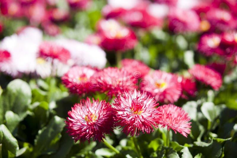 Ρόδινα λουλούδια μαργαριτών (marguerite) στοκ φωτογραφία με δικαίωμα ελεύθερης χρήσης