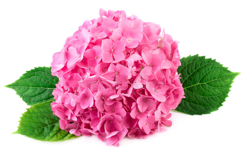 Ρόδινα λουλούδια με τα πράσινα φύλλα του hydrangea στοκ φωτογραφίες