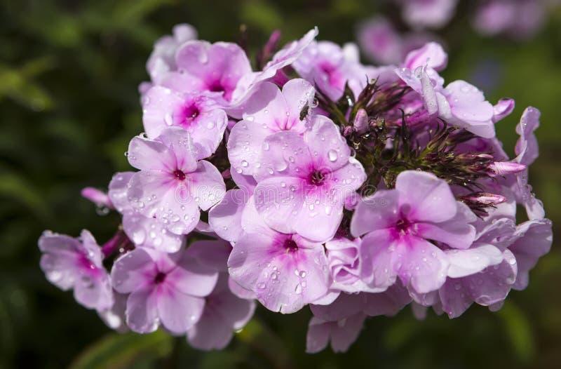 Ρόδινα λουλούδια με τις πτώσεις βροχής νερού πετάλων στοκ εικόνες με δικαίωμα ελεύθερης χρήσης