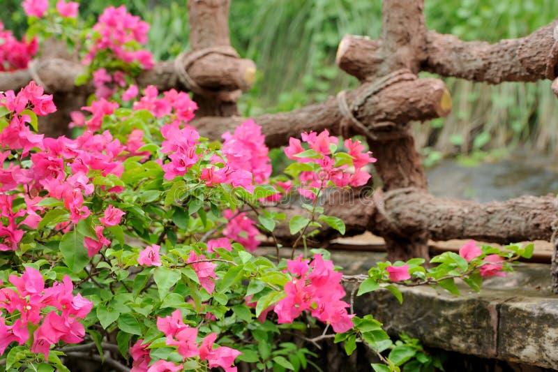 Ρόδινα λουλούδια στη Σρι Λάνκα στοκ εικόνα με δικαίωμα ελεύθερης χρήσης