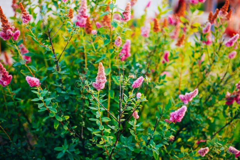 Ρόδινα λουλούδια Spirea στο Μπους στην άνοιξη στοκ φωτογραφία
